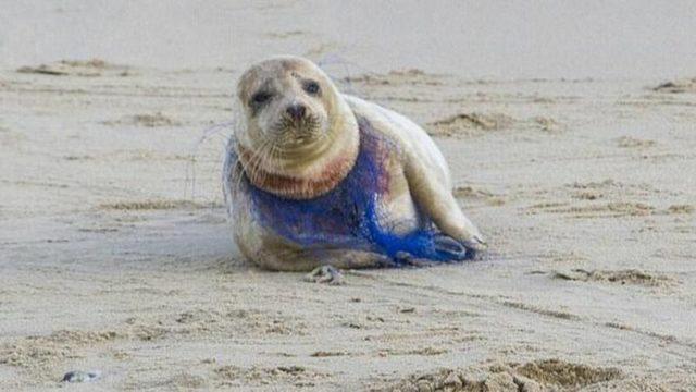 Тюлень поранился сеткой