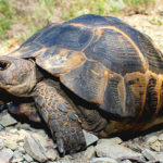 Черепаха Никольского
