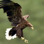 Черный Орлан