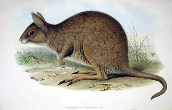 Длинноухие кенгуру