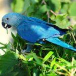 Голубые попугаи Ара