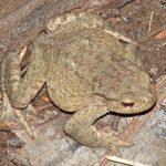 Кавказская жаба, Жаба Колхидская