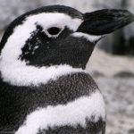 Магелланов пингвин