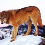 Рыжие волки
