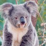 Сумчатые медведи или коалы