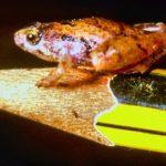 лягушки-лилипуты