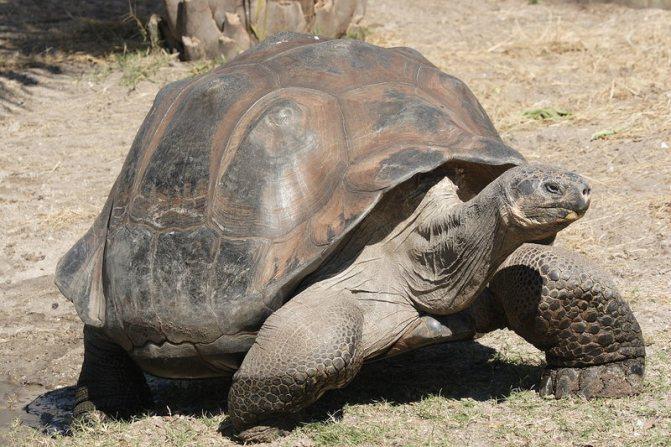 мужская особь абингдонской слоновой черепахи