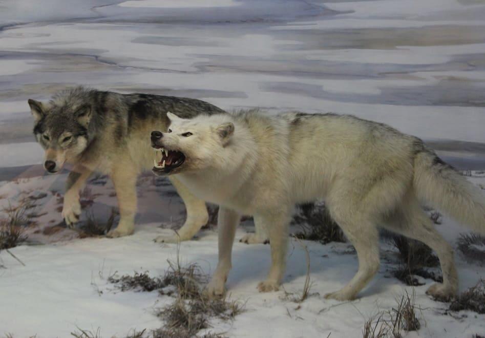 Японский волк Эдзо