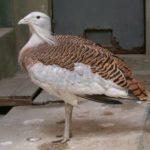 Дрофа, восточно-сибирский подвид