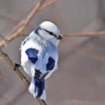 Князек (европейская белая лазоревка)