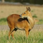 Кабарга - саблезубый олень