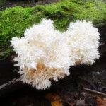 Ежевик коралловидный