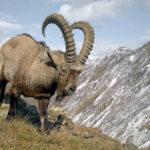 Сибирский горный козел
