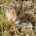 Степная мышовка