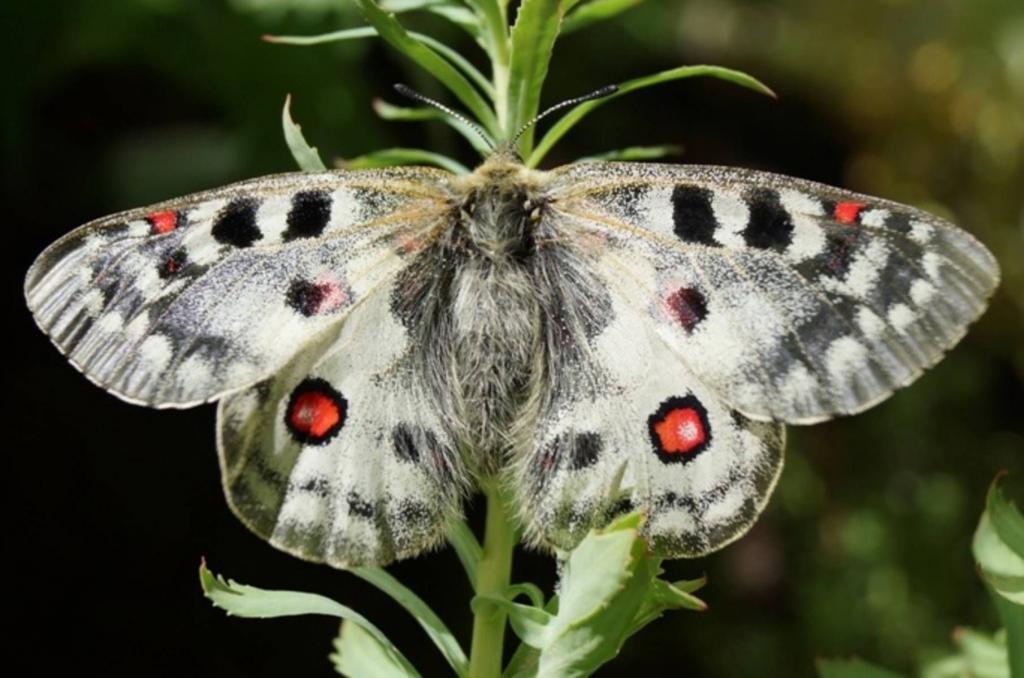 Бабочка аполлона обыкновенного