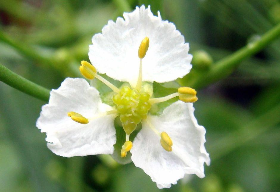 Кальдезия белозоролистная