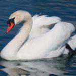 Лебедь – шипун