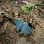 Кобылка голубокрылая